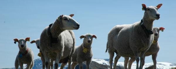 Noorse schapen