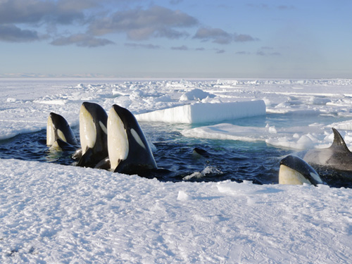 Frozen planet - screenshot met orca's