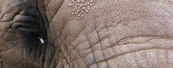 Huilende olifant