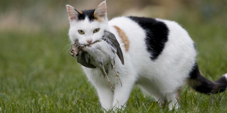 katten kattenplaag vogels