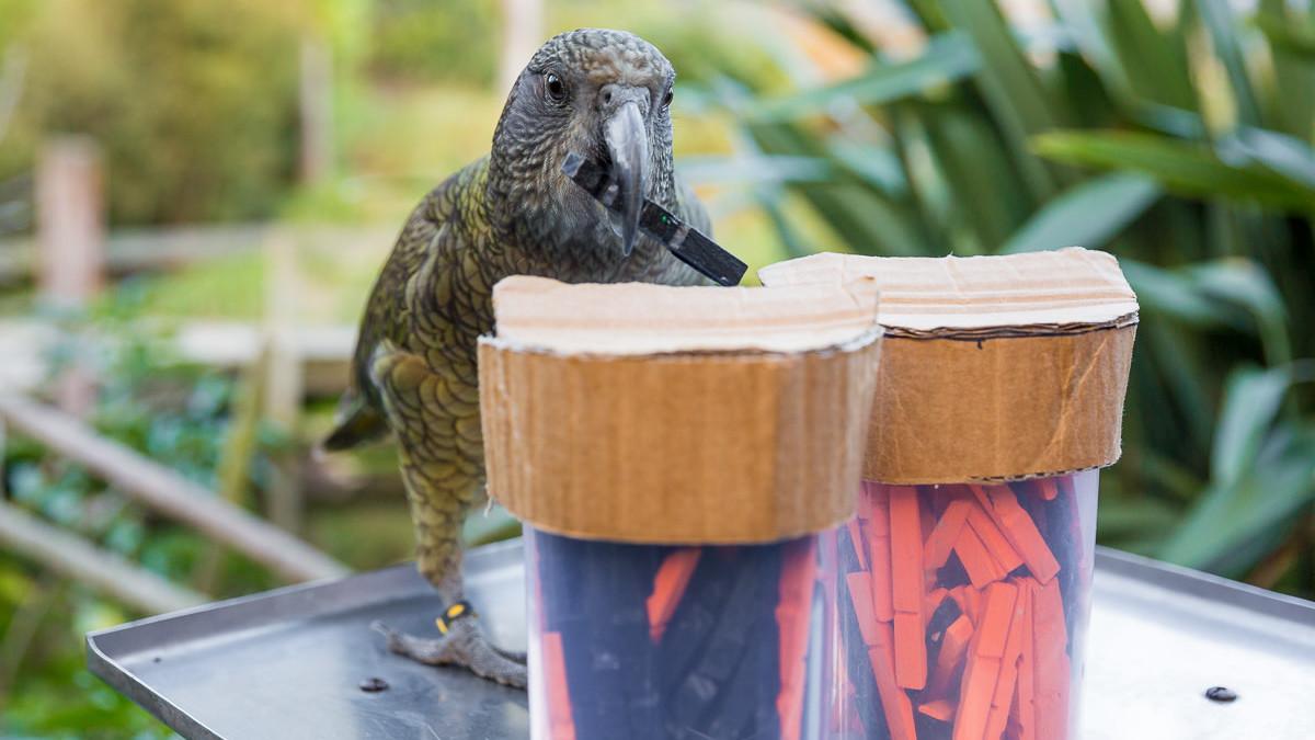Kea papegaai snapt kansberekening blijkt uit onderzoek