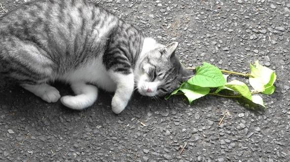 Katten worden niet alleen high van kattenkruid en matatabi, het beschermt ook tegen muggen