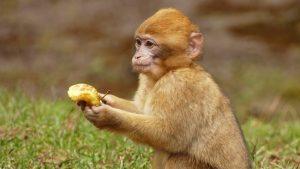 Langstaart makaken (apen) op Bali jatten opzettelijk dure spullen en ruilen deze tegen een passende vergoeding.
